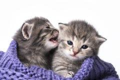 Cute newborn kittens Royalty Free Stock Images