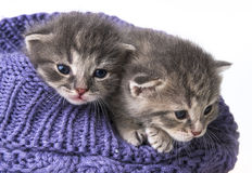 Cute newborn kittens Royalty Free Stock Image
