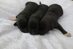 Cute newborn Lab puppies Stock Photos