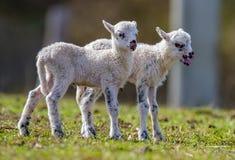 Cute newborn lambs. Close up royalty free stock photography