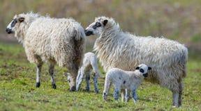 Cute newborn lambs stock images