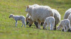 Cute newborn lambs stock photos