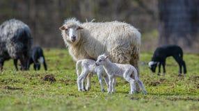 Cute newborn lambs royalty free stock photo