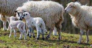Cute newborn lambs stock photo
