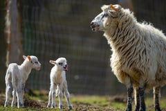 Cute newborn lambs royalty free stock images