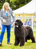 Cute Newfoundland dog slobbering. Staffordshire, England - June 01,2017 : Cute Newfoundland dog slobbering as he is  being judged at Staffordshire County Show Royalty Free Stock Photos