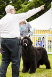 Cute Newfoundland dog slobbering. Staffordshire, England - June 01,2017 : Cute Newfoundland dog slobbering as he is  being judged at Staffordshire County Show Royalty Free Stock Images