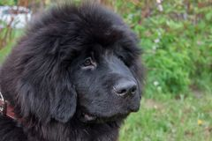 Cute newfoundland puppy close up. Pet animals. Guardian dog royalty free stock photo