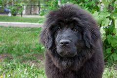 Cute newfoundland puppy is sitting on a green grass. Pet animals royalty free stock image