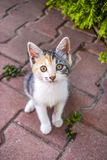 Cute calico kitten seen from above royalty free stock images
