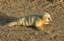 A cute newly born Grey Seal pup Halichoerus grypus lying on the beach on a sunny day at Horsey, Norfolk, UK. Stock Photos