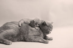 Cute newly born kitten. Hugging his mother stock photo