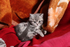 Cute newly born kitten. Playing, red towel as background Royalty Free Stock Photos