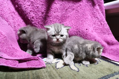 Cute newly born kittens playing Royalty Free Stock Photos