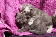 Cute newly born kittens playing Royalty Free Stock Images