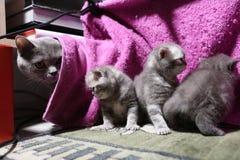 Cute newly born kittens playing Royalty Free Stock Photo