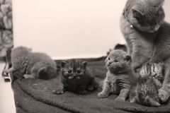 Cute newly born kittens playing. With their mother royalty free stock image