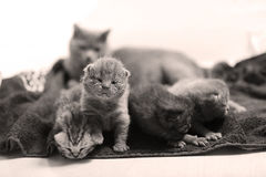 Cute newly born kittens Royalty Free Stock Photo