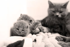 Cute newly born kittens Royalty Free Stock Images