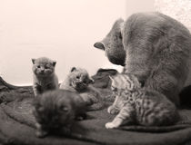 Cute newly born kittens Royalty Free Stock Photography
