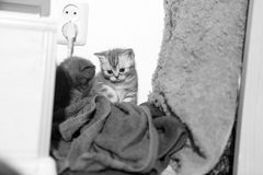Cute newly born kittens playing Royalty Free Stock Image