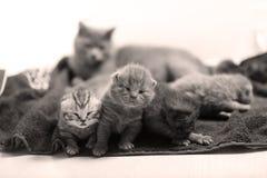 Cute newly born kittens Stock Photography