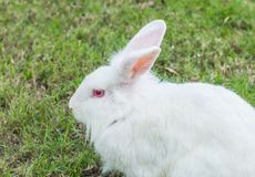 Cute Newzealand white rabbit, lion head rabbit on green grass.  royalty free stock image