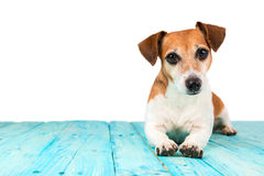 Cute nice dog lying on the blue surface royalty free stock photos