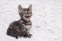 Charcoal bengal kitten meowing royalty free stock photos