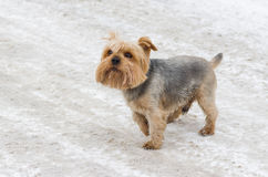 Cute Norfolk terrier on a snow Stock Photos