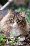 Cute Norwegian Cat Royalty Free Stock Photos