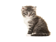 Cute Norwegian Forest baby cat. Kitten sitting facing the camera isolated on a white background Stock Images