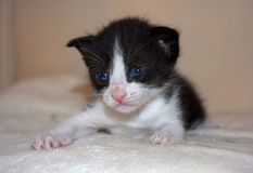 Cute not purebred kitten Royalty Free Stock Photography
