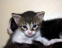 Cute not purebred kitten Stock Images