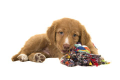 Cute nova scotia duck tolling retriever puppy lying down while chewing on a multicolored wove Royalty Free Stock Photo
