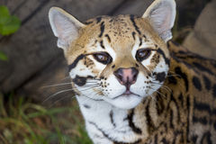 Cute Ocelot Close Up Royalty Free Stock Images