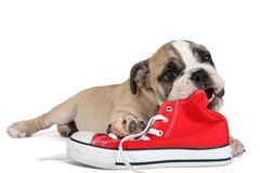 Cute old english bulldog dog lying in front of red shoes. Cute old english bulldog dog lying behind of red shoes isolated on white chewing them as a toy stock image