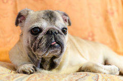 Cute old female pug Stock Image