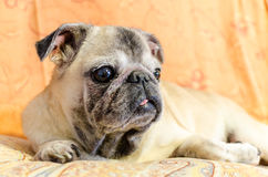 Cute old female pug Stock Images