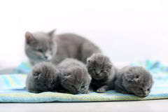 Cute one day old British Shorthair kitten. Cute small one day old baby cats, first day of life, mother cat looking stock photo