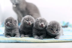 Cute one day old British Shorthair kitten. Cute small one day old baby cats, first day of life, mother cat looking stock photography