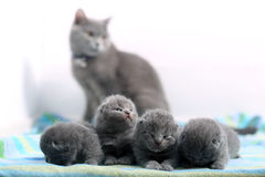 Cute one day old British Shorthair kittens. Small one day old baby cats, first day of life, mother cat looking royalty free stock photos