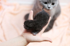Cute one day old kitten Royalty Free Stock Photo
