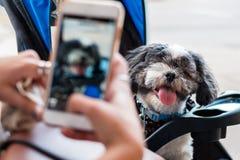Cute Shih Tzu dog royalty free stock photo