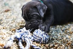 Cute one month old cane corso puppy plays with rope toy outside. Selective focus stock images
