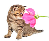 Cute one month old kitten with a rose Royalty Free Stock Image