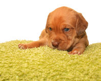 Cute one month old puppy. Closeup of cute one month old puppy isolated on white Stock Image