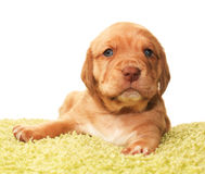 Cute one month old puppy. Closeup of cute one month old puppy isolated on white Stock Photography
