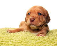 Cute one month old puppy Royalty Free Stock Image