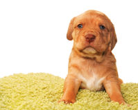 Cute one month old puppy. Closeup of cute one month old puppy isolated on white Royalty Free Stock Photos